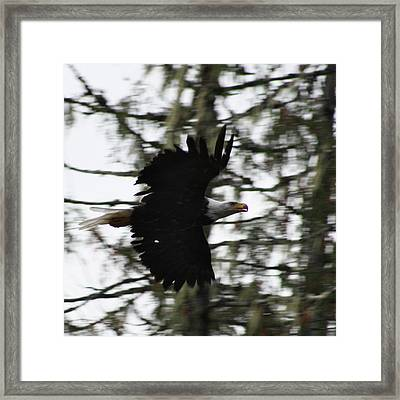 Framed Print featuring the photograph Eagle Fly By by Cathie Douglas