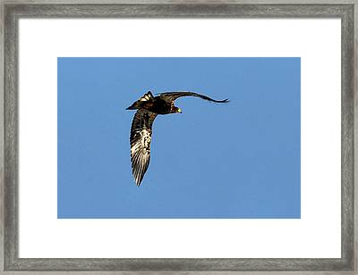 Eagle From Below Framed Print by Don Mann