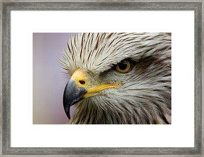 Eagle Framed Print by Javier Balseiro