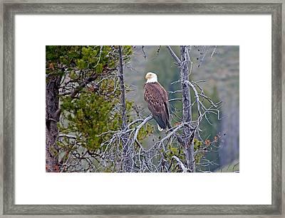 Eagle Framed Print by Elijah Weber