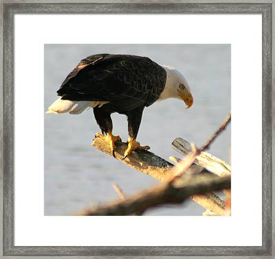Eagle On His Perch Framed Print by Kym Backland