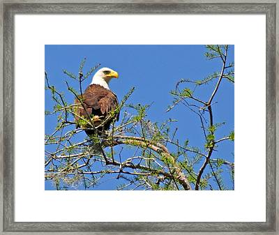 Eagle On Watch Framed Print by Kathy Ricca
