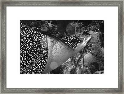 Eagle Ray Framed Print by Jean Noren