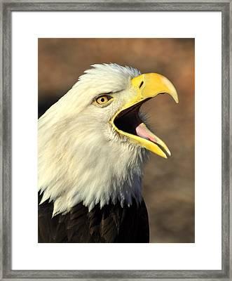 Eagle Squawk Framed Print by Marty Koch