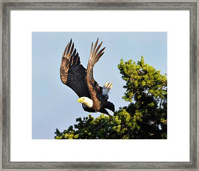 Eagle Takes Off Framed Print by Sasse Photo