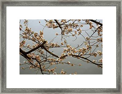 Early Cherry Blossoms Framed Print