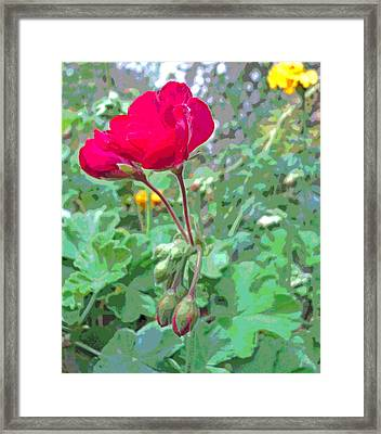 Early Morning Geraniums And Marigolds Framed Print