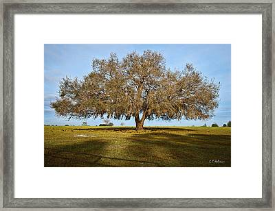 Early Morning Oak Framed Print by Christopher Holmes