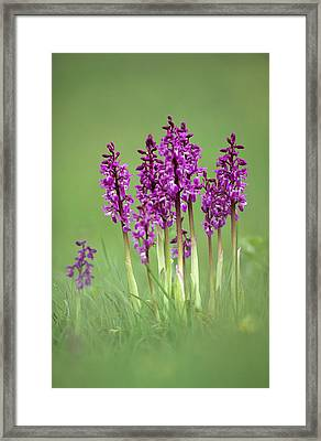 Early Purple Orchids (orchis Mascula) Framed Print