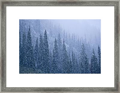 Early Snowfall On Evergreen Trees Framed Print by Michael Melford