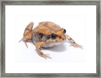 Eastern Banjo Frog Isolated On White Framed Print by Brooke Whatnall
