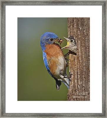 Eastern Bluebird Feeding Chick Framed Print by Susan Candelario