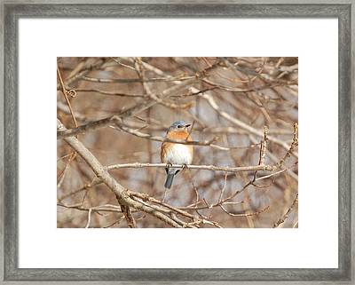 Framed Print featuring the photograph Eastern Bluebird by Mary McAvoy