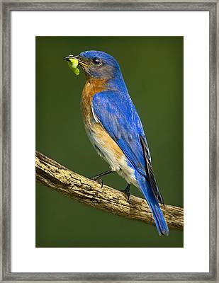 Eastern Bluebird Framed Print by Susan Candelario