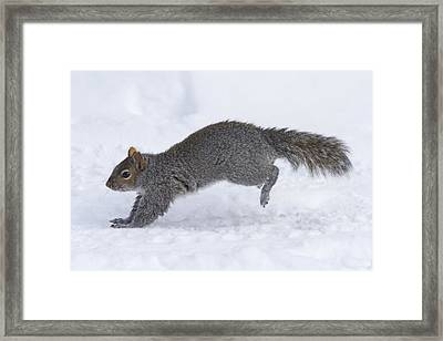 Eastern Gray Squirrel Running Framed Print by Philippe Henry