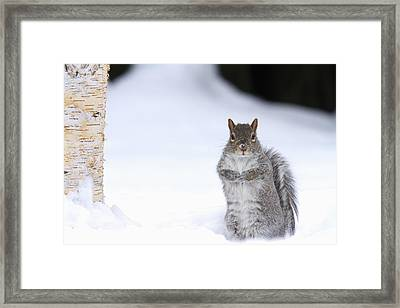 Eastern Gray Squirrel Standing Framed Print by Philippe Henry