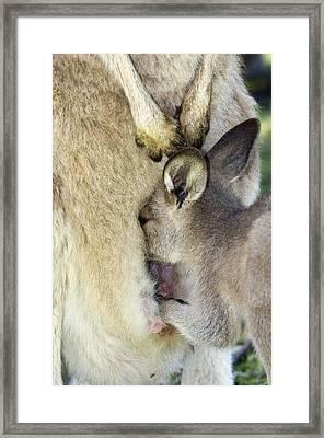 Eastern Grey Kangaroo Joey Framed Print by Tony Camacho