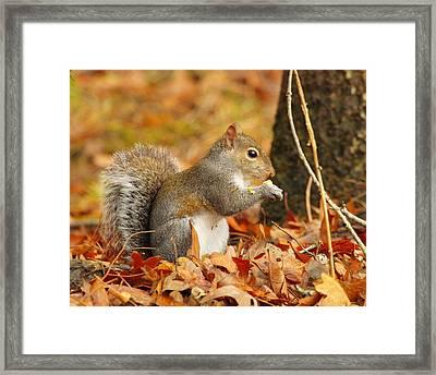 Eastern Grey Squirrel Framed Print by Andrew McInnes