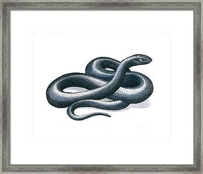 Eastern Indigo Snake Framed Print by Anna Bronwyn Foley