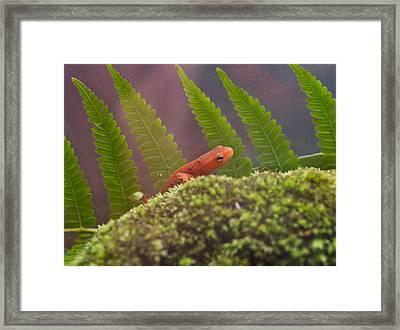 Eastern Newt 4 Framed Print