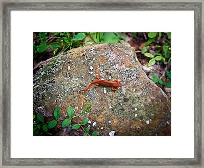 Eastern Newt Juvenile 6 Framed Print