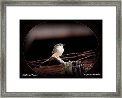 Eastern Phoebe - Sayornis Phoebe Framed Print by Travis Truelove