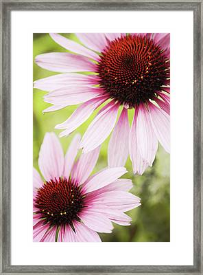 Eastern Purple Cone Flowers Framed Print by Dhmig Photography