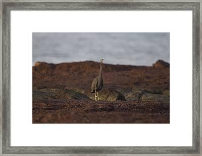 Eastern Reef Egret-dark Morph Framed Print by Douglas Barnard
