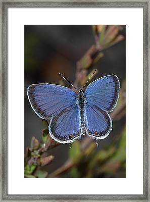 Eastern Tailed Blue Butterfly Framed Print by Daniel Reed