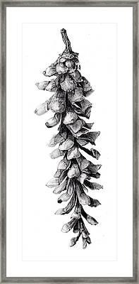 Eastern White Pine Framed Print by Inger Hutton