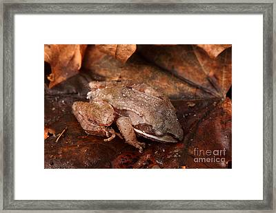 Eastern Wood Frog Hibernating Framed Print by Ted Kinsman