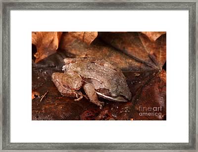 Eastern Wood Frog Hibernating Framed Print by Ted Kinsman