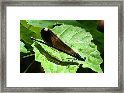 Ebony Jewelwing Damselfly II Framed Print by Bruce W Krucke