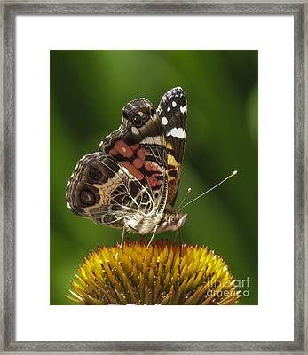 Echinacea Butterfly Meal Framed Print by Darleen Stry