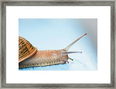 Edible Snail On  Wooden Ground Framed Print by Guido Mieth