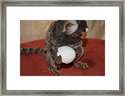 Eggs  Chewy The Marmoset Framed Print by Barry R Jones Jr