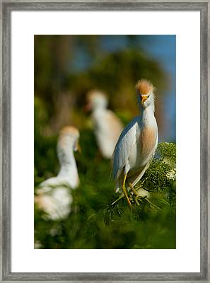 Egret And Company Framed Print by Andres Leon