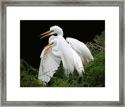 Egret Babies In The Nest Framed Print by Paulette Thomas