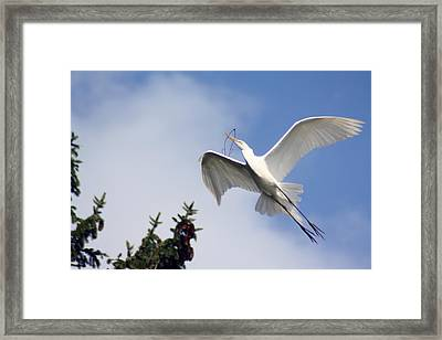 Egret Carrying Stick Framed Print