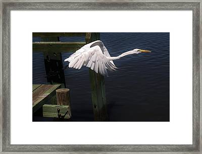 Egret Coming Off The Block Framed Print by Paulette Thomas