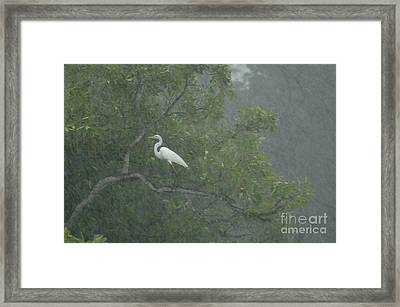 Egret In The Monsoons Framed Print by Bob Christopher