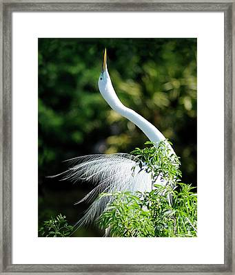 Egret  Framed Print by Nancy Greenland