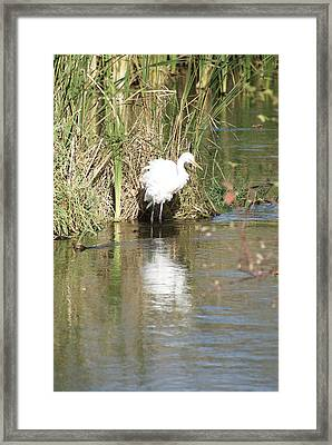 Framed Print featuring the photograph Egret by Steven Clipperton