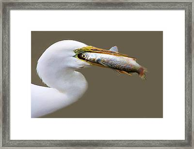 Egret With A Huge Fish Framed Print by Paulette Thomas