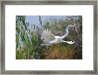 Framed Print featuring the photograph Egret's Flight by Tam Ryan