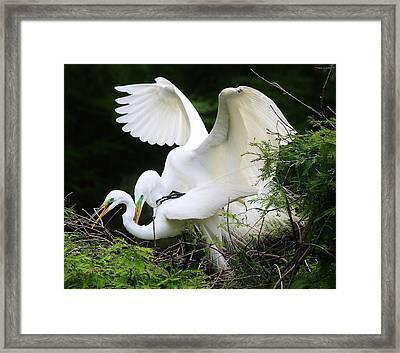 Egrets Mating Framed Print by Paulette Thomas