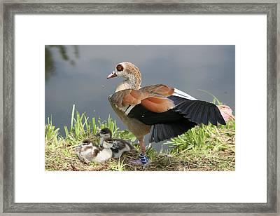 Egyptian Goose Stretching.. Framed Print by Valia Bradshaw