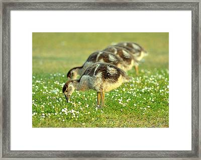 Egyptian Goslings Framed Print by Pallab Seth