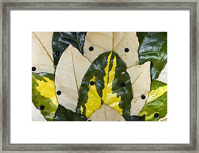 Elaeagnus Pungens 'maculata' Leaves Framed Print by Dr Keith Wheeler