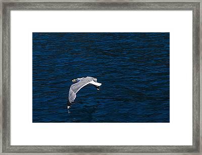 Elba Island - Flying For Food - Ph Enrico Pelos Framed Print